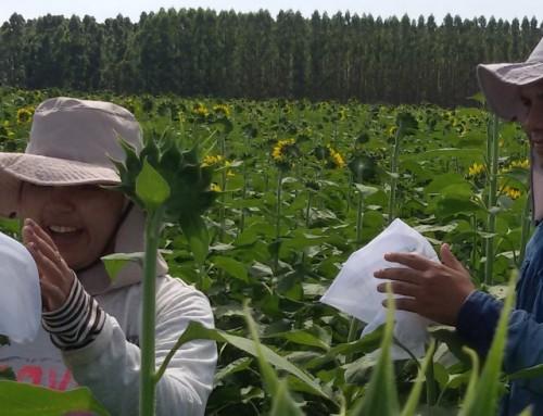 Estudo realizado pela Unemat indica que Abelhas Melhoram a Produtividade Agrícola