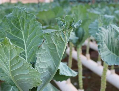 Saiba como o controle biológico pode beneficiar a sua produção de couve