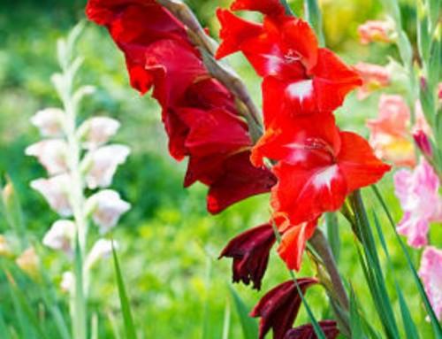 MT Horticultura realizará Dia de Campo do gladíolo