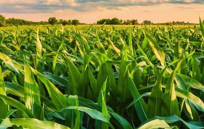 tecnologias de produção de milho safrinha