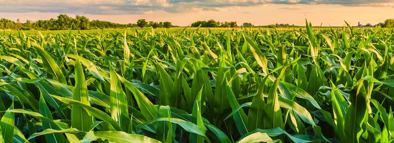 Unemat realiza levantamento sobre tecnologias de produção de milho safrinha